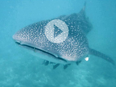 featuredimage_maldives_whaleshark_800x600px_play