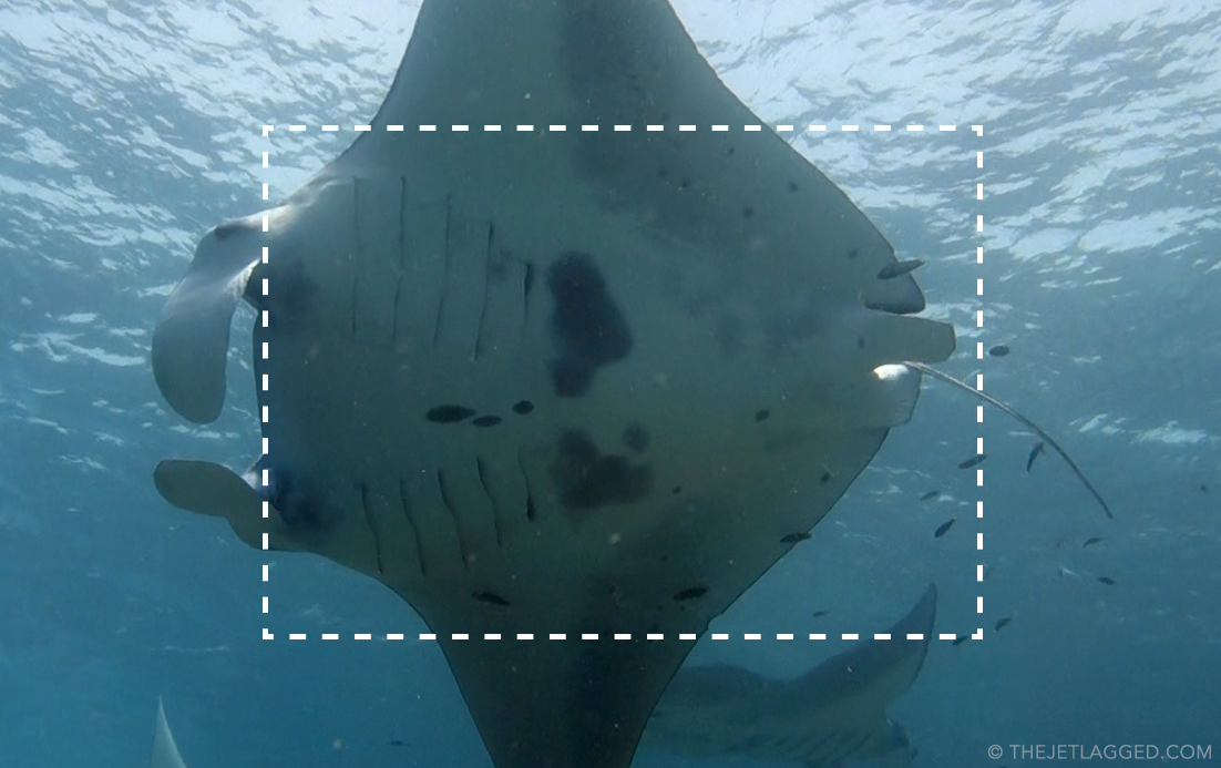 Area for a good manta ray belly ID shot