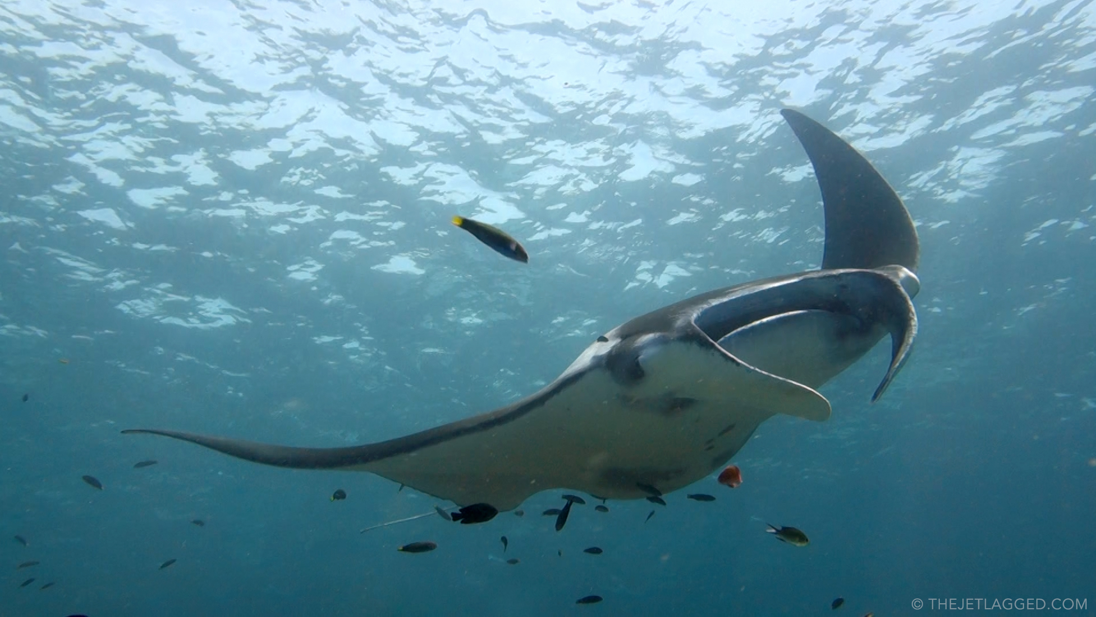 Manta ray cruising through the waters of Komodo