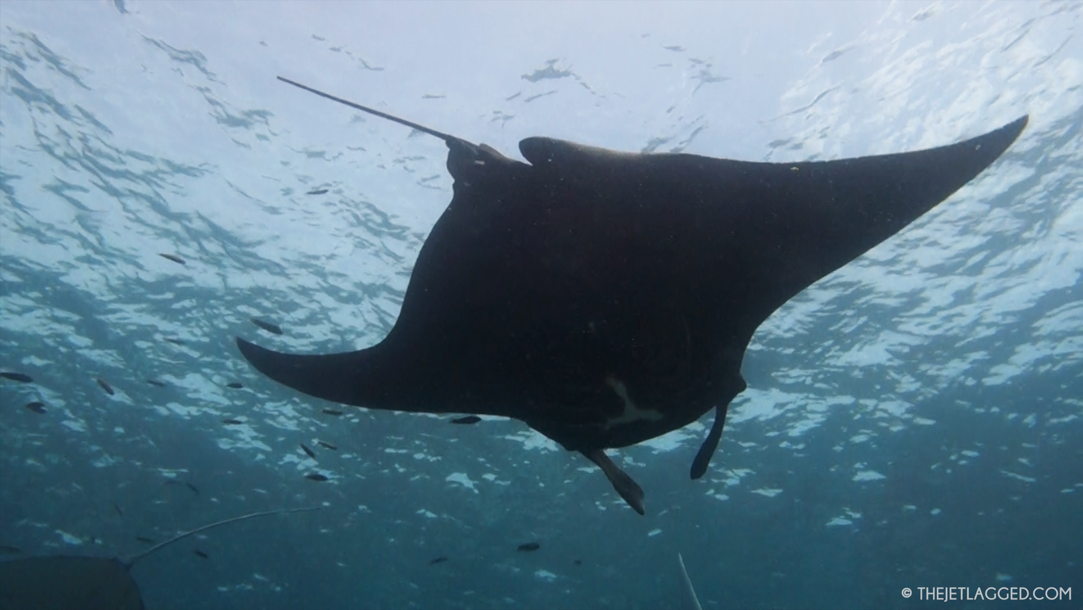 Black manta ray in Indonesia