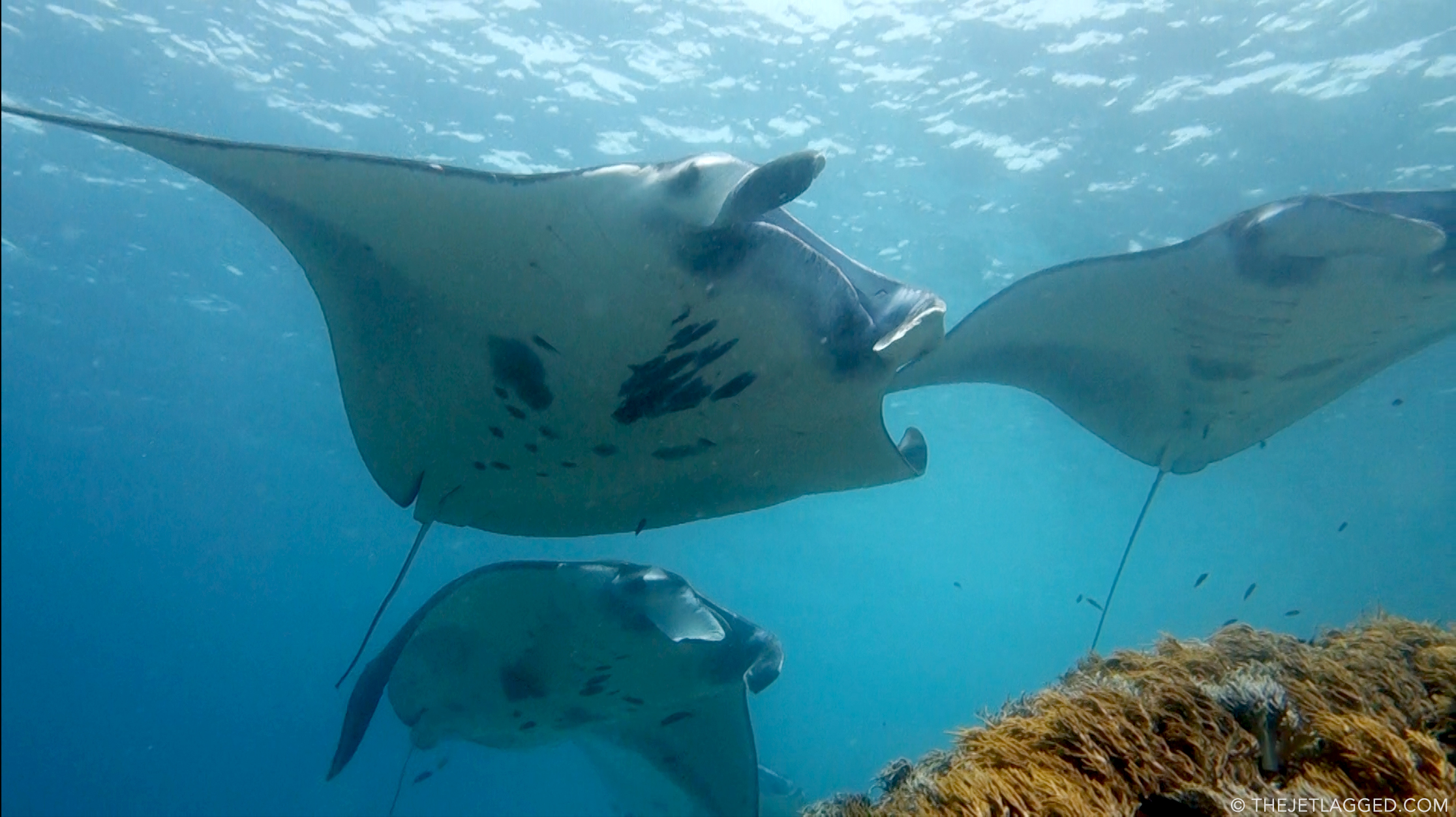 Manta rays on a cleaning station in Komodo