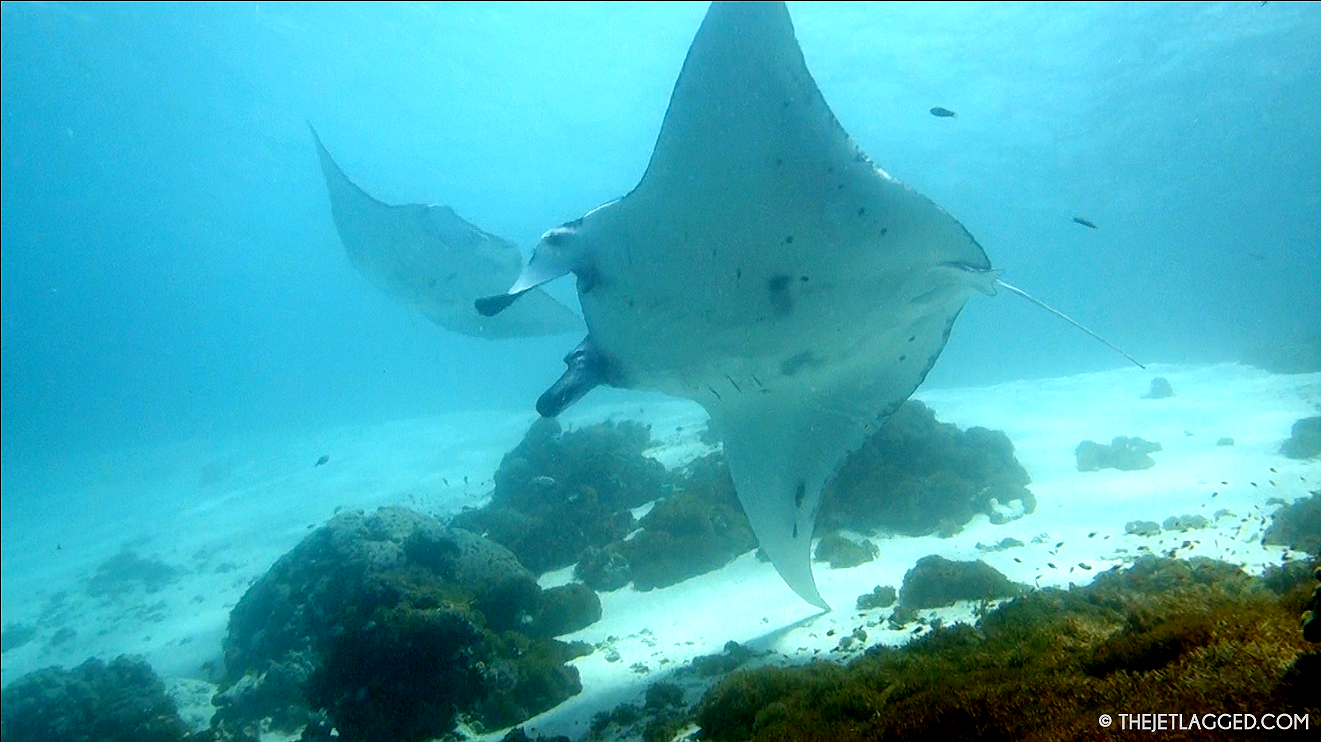 Manta rays circling in shallow water