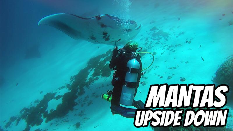 Mantas upside down