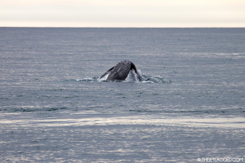 Humpback whale feeding in Icelandic waters