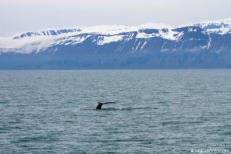 Humpback whale in Skjálfandi bay