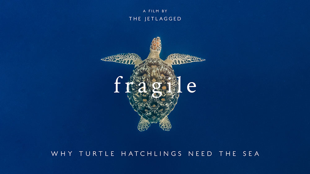 Fragile - Why turtle hatchlings need the sea